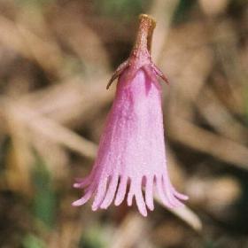 Soldanella montana - цвете от Пирин