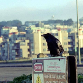 Crow in the city