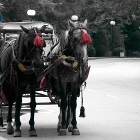Бягат конете, препускат в галоп...