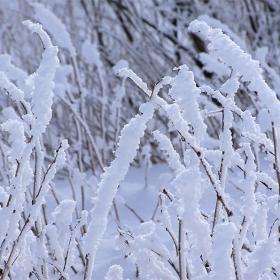 Снежни храсти