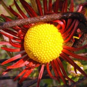 Есенно цветенце