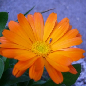 Оранжевко