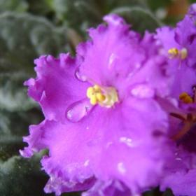 плачешто цвете