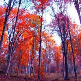 Червената гора