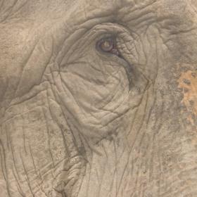 окото на слона