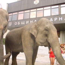Слонове пред Общината
