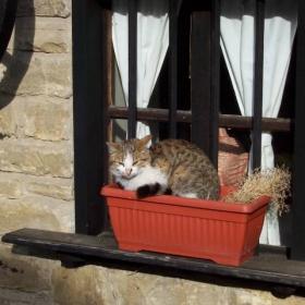 котка в саксия
