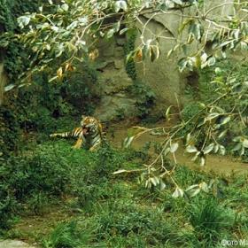 Отдых тигра
