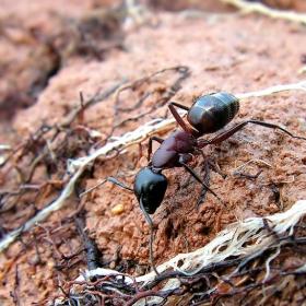 Баба мравка!