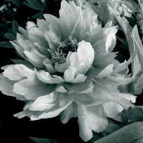 Moon  flower 1