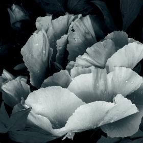 Moon  flower 3