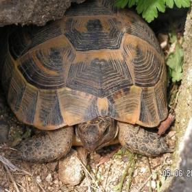 костенурката Анастасия