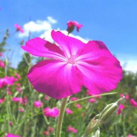 Полско цвете