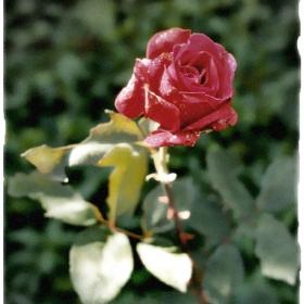 Една роза и от мен ...