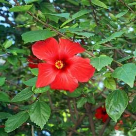 Аленото цвете