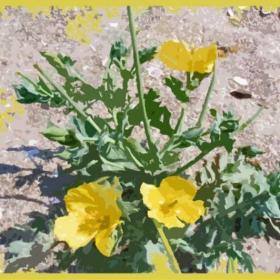 Пясъчно цвете