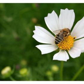 Пчелица