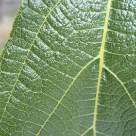 Зеленото листо