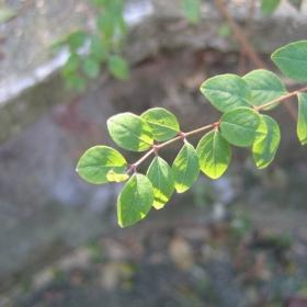 Зелени листенца