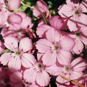 цветя от Рила