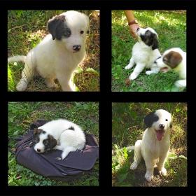 Една чудесна порода българско овчарско куче