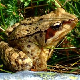 Планинска жабка