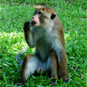 Умислена маймунка