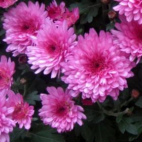 Хризантеми - живот и красота