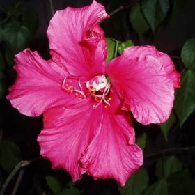 Цвят, китайска роза.
