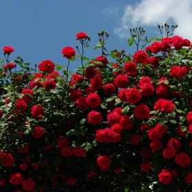 Вземи във този хубав ден една българска роза от мен...