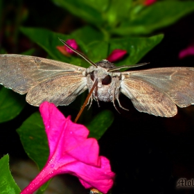 Гълъбова опашка (Macroglossa stellatarum)