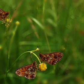 спящи пеперуди