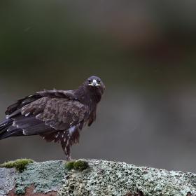 Голям креслив орел