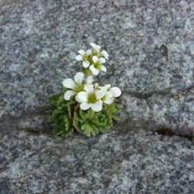 Планинско цвете-сенчеста каменоломка(saxifraga cymosa)