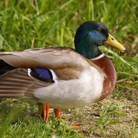 зеленоглава дива патка