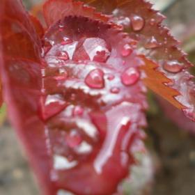 червен дъжд