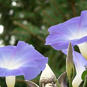 лилави цветове