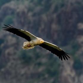 Египетски лешояд в полет
