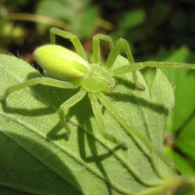 зелен паяк