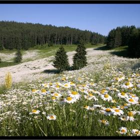 Жълтите(белите) цветя на зелените поляни..