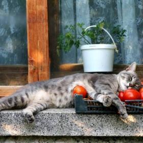 За котките и доматите... или един следобед на Котак Амсалакович.