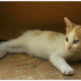 Скопска мачка