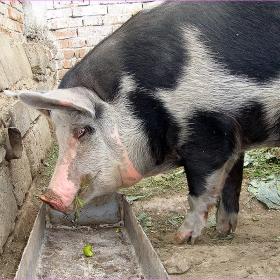 Пиги - срамежливката