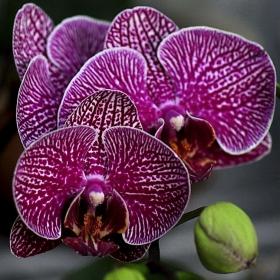 Тигрова орхидея