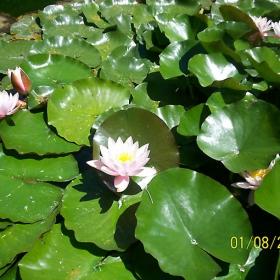 Водни лилии...