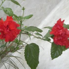 моята китайска роза