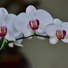 Орхидеи2_