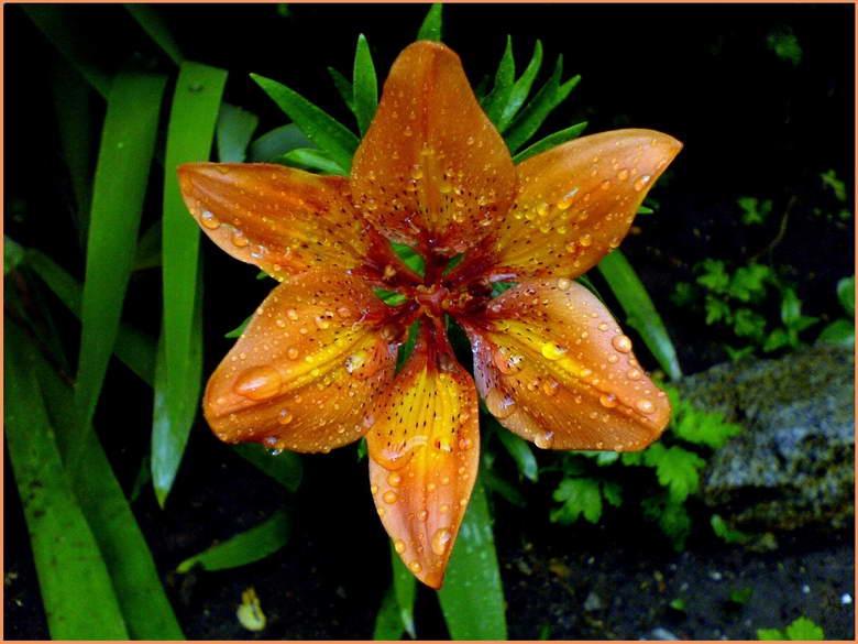 Цветето Крем