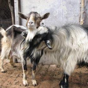 Любовта на козата 1