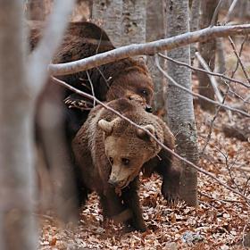 да те гази мечка:)